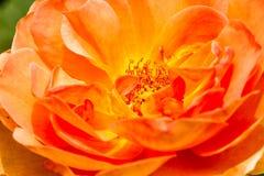Rose en el chiangmai agrícola real Tailandia de Angkhang del tha Imagen de archivo