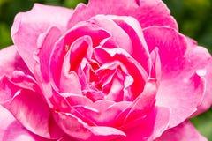 Rose en el chiangmai agrícola real Tailandia de Angkhang del tha Imagenes de archivo