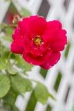 Rose en el enrejado Fotografía de archivo