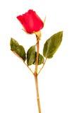Rose en el fondo blanco Foto de archivo