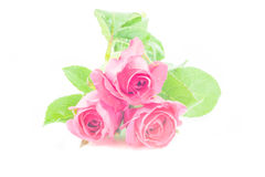 Rose en el fondo blanco Fotos de archivo