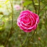 Rose en el jardín Foto de archivo libre de regalías