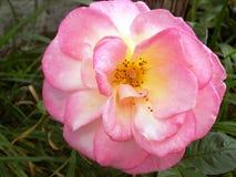 Rose en el jardín @ Crookham, Northumberland, Inglaterra del país Fotografía de archivo