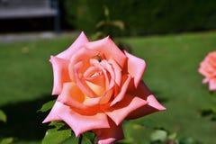 Rose en el jardín de la primavera Fotografía de archivo