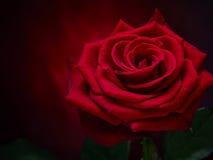 Rose en el metal Fotos de archivo libres de regalías