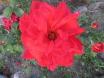 Rose en el primer del jardín Imagen de archivo libre de regalías