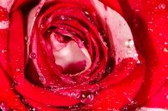 Rose en el rocío Foto de archivo libre de regalías