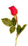 Rose en el tarro Foto de archivo
