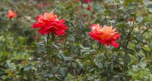 Rose en fleur Photographie stock libre de droits