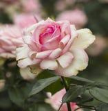 Rose en fleur Image libre de droits