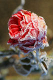 Rose en hiver Photos stock