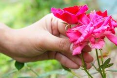 Rose en jardín Imagen de archivo libre de regalías