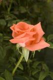 Rose en jardín Fotos de archivo