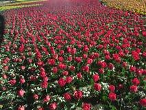 Rose en jardín Imágenes de archivo libres de regalías