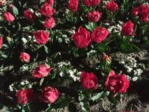 Rose en jardín Foto de archivo libre de regalías