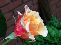 Rose en jardín de las hermanas imagen de archivo