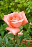Rose en jardín, rosa del rosa, flor hermosa Imagen de archivo