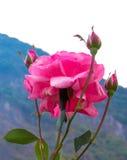 Rose en la floración Imagenes de archivo