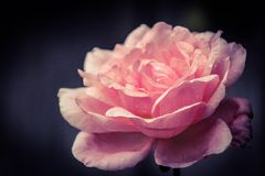Rose en la lluvia Fotos de archivo libres de regalías