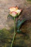 Rose en la madera Imágenes de archivo libres de regalías