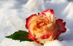 Rose en la nieve Fotos de archivo libres de regalías