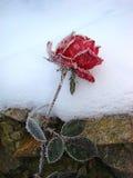 Rose en la nieve Imágenes de archivo libres de regalías