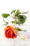 Rose en la nieve Fotografía de archivo libre de regalías