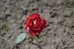 Rose en la tierra Imagenes de archivo