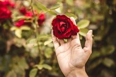 Rose en la yarda con una mano fotos de archivo libres de regalías
