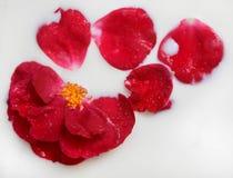 Rose en lait photographie stock libre de droits