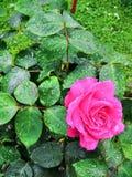 Rose en lluvia imagen de archivo