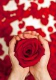 Rose en manos; Imagen de archivo libre de regalías