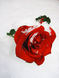 Rose en nieve Imagenes de archivo