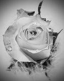 Rose en noir et blanc avec des gouttelettes d'eau Photos libres de droits