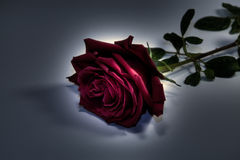 Rose en oscuridad Foto de archivo