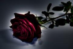Rose en oscuridad Foto de archivo libre de regalías