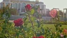 Rose en parc avec des fusées du soleil banque de vidéos