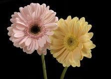 Rose en pastel et jaune de beurre Gerberas Image libre de droits
