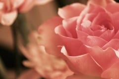Rose en Salmon Peach Image stock