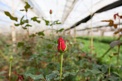 Rose en serre chaude, Dalat, Vietnam Image libre de droits