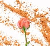Rose en sombra de ojos anaranjada en blanco Imagen de archivo