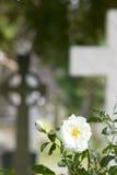 Rose en un cementerio Fotos de archivo libres de regalías