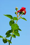 Rose en un fondo del cielo Foto de archivo