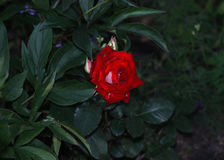 Rose en un fondo del follaje oscuro Foto de archivo libre de regalías