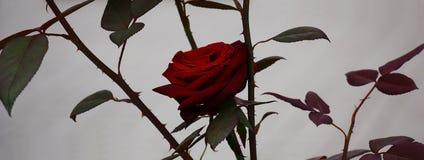 Rose en un fondo gris Imagenes de archivo