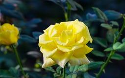 Rose en un jardín Foto de archivo