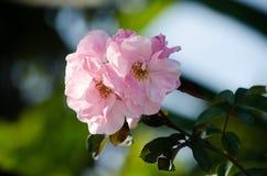 Rose en un jardín Imagen de archivo