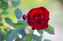 Rose en un jardín Foto de archivo libre de regalías