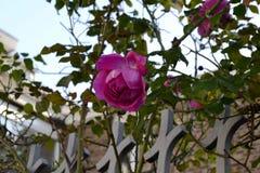 Rose en una rama Fotografía de archivo libre de regalías
