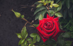 Rose ensanglanté et baisses de rosée de matin Jardin anglais Image stock